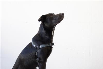 Charcoal No-Pull Harness