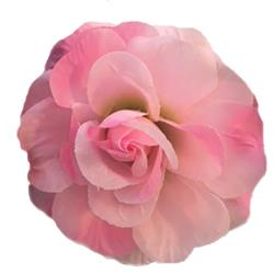 Rose Flower Bud Pink by Huxley & Kent