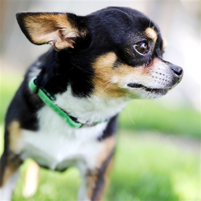 Small Dog + Puppy Collar -- 32 Velvet Colors