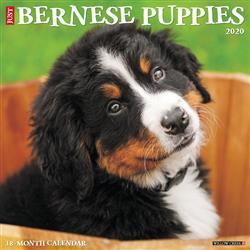 Bernese Mountain Puppies 2020 Wall Calendar