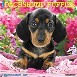 Dachshund Puppies 2020 Wall Calendar