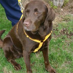 Hemp Dog Harness MARIGOLD CORDUROY