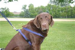 Hemp Dog Harness BLUE CORDUROY