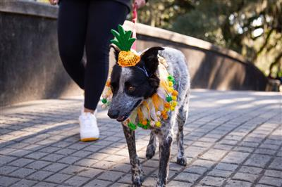 Pineapple Hat & Collar Set for Dogs