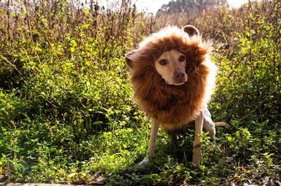 Lion Mane Costume with ears for Medium and Big Dogs