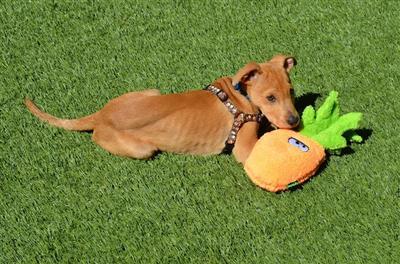 Duraplush Pineapple Dog Toy
