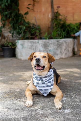 Road Trip Dog Bandana