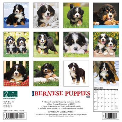 Bernese Mountain Puppies 2021 Wall Calendar