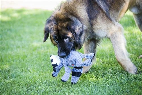 HuggleHounds Plush Corduroy Durable Knotties Raccoon Dog Toy
